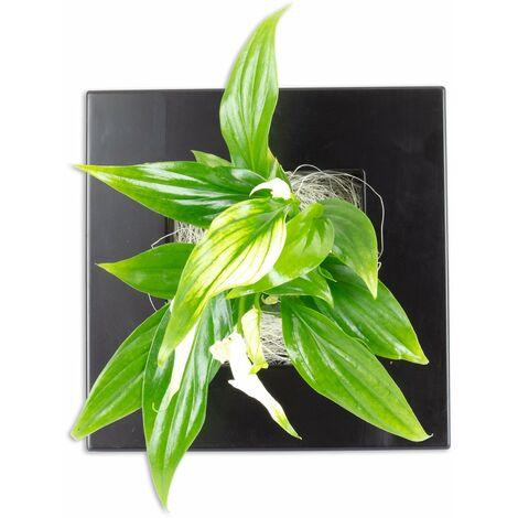 Pflanzenbild Flowerwall XS - schwarz - Spathiphyllum Yess - 17x17 cm