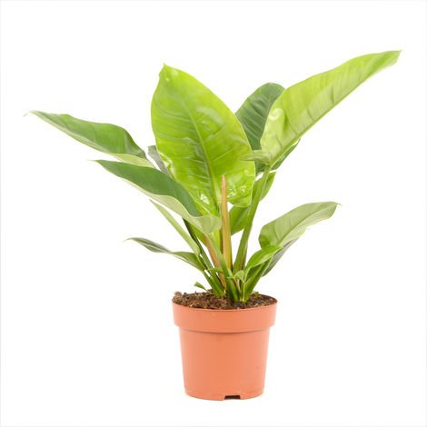 Philodendron Imperial Green Ø 19 x H. 50cm | Offre Duo