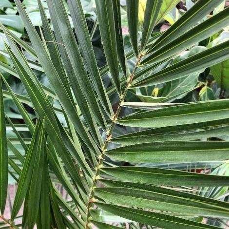 Phoenix canariensis (Palma delle Canarie) [Vaso Ø15cm | H. 65 cm.]