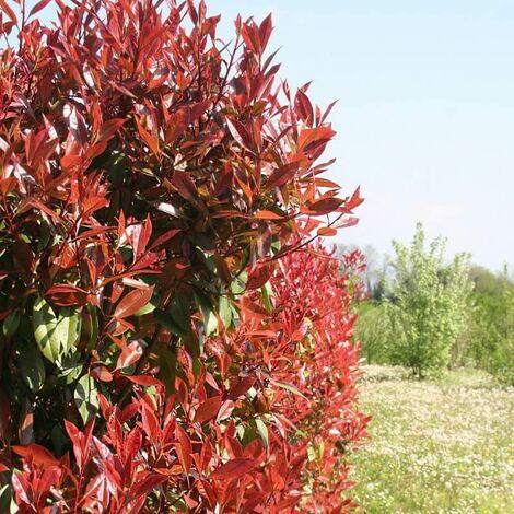 Photinia (Photinia Fraseri 'Red Robin') - Godet - Taille 13/25cm