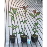 Photinia red robin pianta da siepe e arredo giardino vaso 9 fotinia foto reale