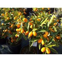 Pianta adulta di kumquat mandarino cinese in vaso cariche di frutti