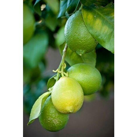 Pianta adulta di Lime Limetta Citrus Aurantifolia in vaso ø20 cm