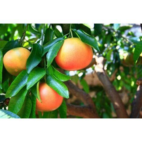 "Pianta adulta di Pompelmo Rosa "" Citrus Paradisi "" in fitocella"