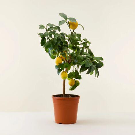"""Pianta albero di limoni di Sicilia """" limone lunario / limone 4 stagioni """" in fitocella"""