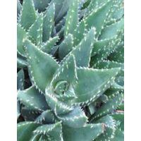 Pianta Aloe Brevifolia in Vaso 10cm - Piante Succulente