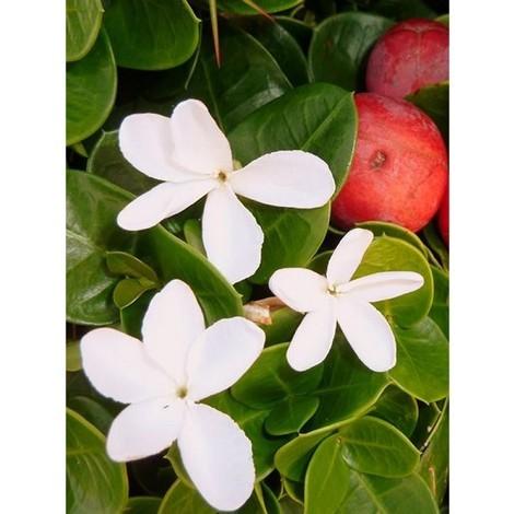 Pianta Carissa Grandiflora Disponibile in Vaso 7cm 18cm - Piante Fiorite