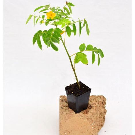 Pianta Beloperone Vaso 7cm