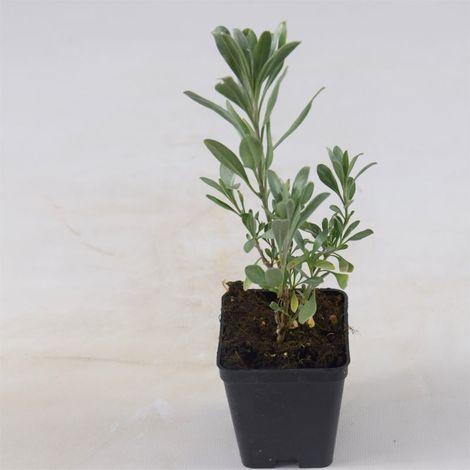 Pianta Eremophila Vaso 7cm