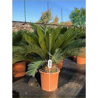 Pianta Cycas Revoluta in Vaso 18cm 24cm - Palmizi | 24
