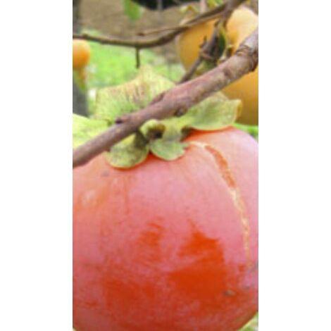 Pianta da frutto caco cako TIPO (foto reali) tre anni in vaso