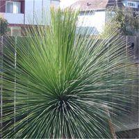 Pianta Dasylirion Longissiumum Vaso 18cm