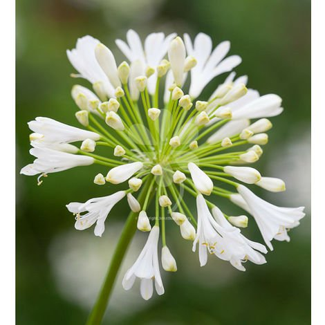 "main image of ""Pianta di agapanthus cespuglio arredo giardino vaso 9 agapantus bianco"""