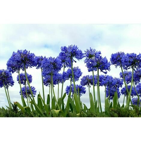 "main image of ""Pianta di agapanthus -vaso 14- cespuglio arredo giardino agapantus blu"""