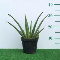 Pianta di Aloe Vera Succulente Piante grasse succulenti vaso Ø 15 foto reale