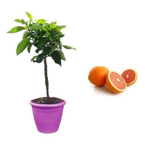 Pianta di Arancio Navel Cara Cara in Vaso viola da 35 cm