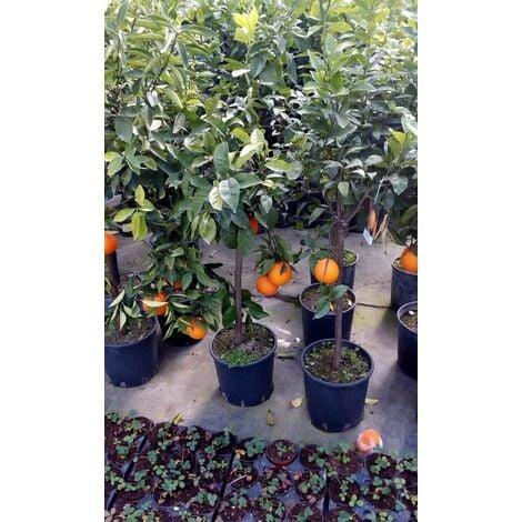 Pianta di ARANCIO NAVEL in vaso 24 con frutti