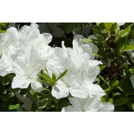 Pianta di Azalea Japonica in vaso ø13 cm (foto reali) bianca