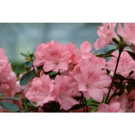 Pianta di Azalea Japonica in vaso ø13 cm (foto reali) rosa