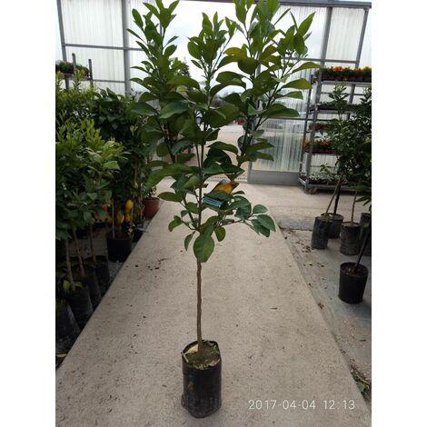 """PIANTA DI BERGAMOTTO IN FITOCELLA (foto reale della pianta) """" citrus bergamia """"+ 50 GR DI FERROCHELATO"""