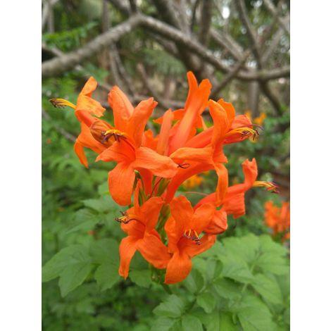 """Pianta di Bignonia capensis in vaso 9 cm """"Tecoma capensis"""" 1 pianta"""