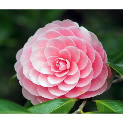 Pianta di Camellia japonica in vaso ø20 cm FOTO REALE