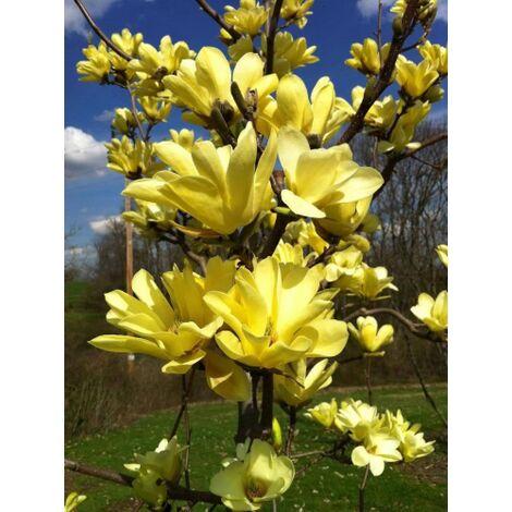 Pianta di Cercis Siliquastrum, Albero di Giuda, fiore rosa - lilla in vaso ø18 cm