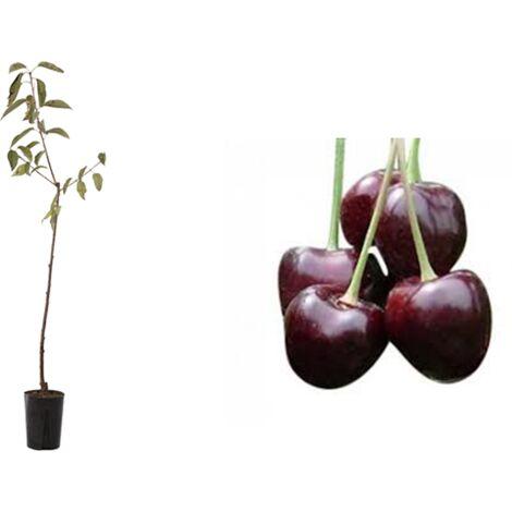 Pianta di Ciliegio Durona di Vignola 2 (Prunus Avium) in fitocella