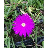Pianta di delosperma pianta fiorita piante fiorite vaso 7