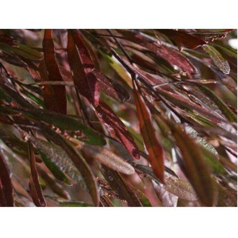 Pianta di dodonea viscosa purpurea pianta da siepe arredo giardino vaso 7