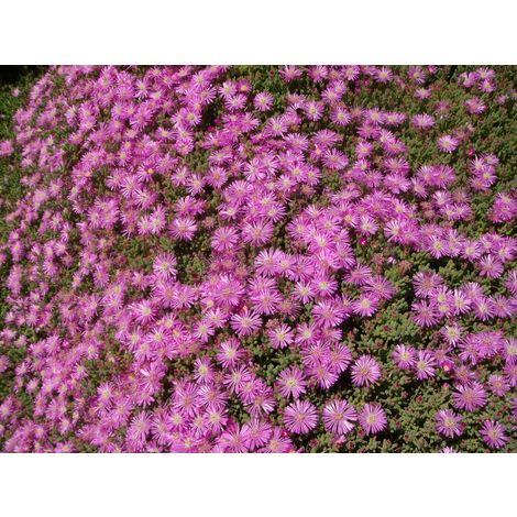 Pianta di drosantemo cespuglio arredo giardino vaso 7 drosanthemum