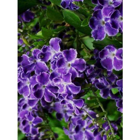Pianta di duranta cespuglio arredo giardino vaso 7