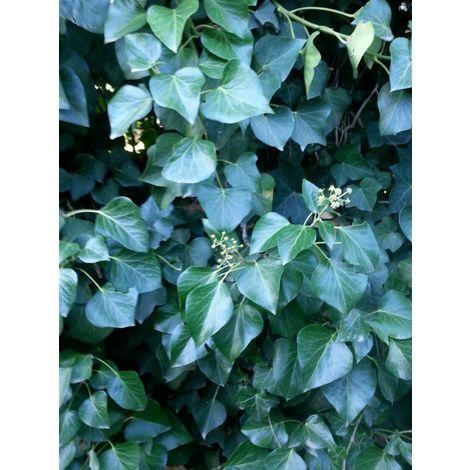 Pianta di edera ibernica hedera hibernica rampicante vaso 7 edera irlandese