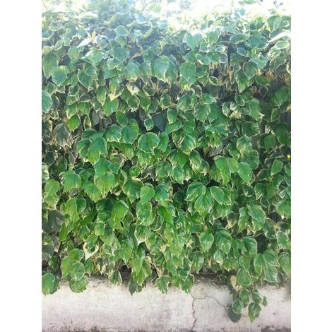 Pianta di edera variegata hedera variegata pianta rampicante vaso 7
