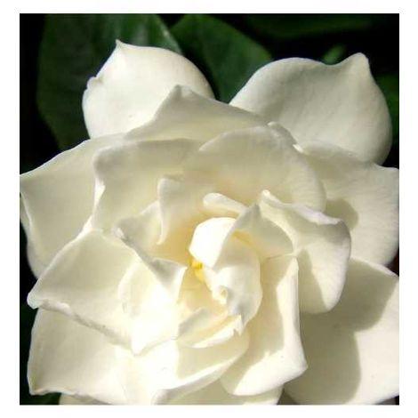 "main image of ""Pianta di gardenia cespuglio arredo giardino vaso 7"""