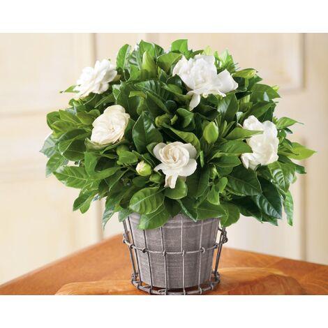 Fiori Bianchi In Vaso.Pianta Di Gardenia Jasminoides Vaso O 18 Cm Dai Fiori