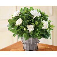 Pianta di gardenia jasminoides vaso Ø 18 cm dai fiori profumatissimi
