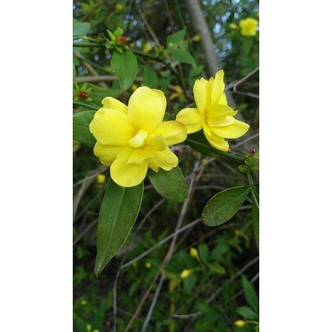 Pianta di gelsomino jasminum giallo rampicante gelsomino rampicante vaso 7