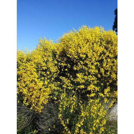 Pianta di ginestra cespuglio ginestra spartium junceum giardino vaso 7