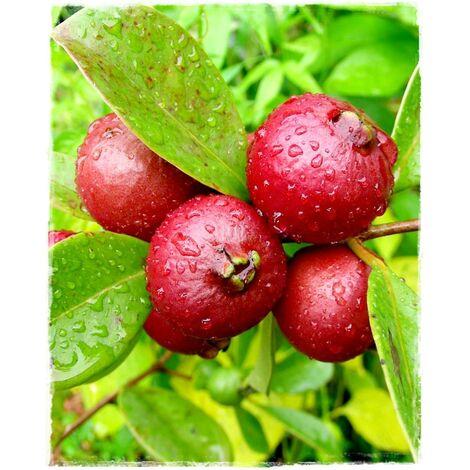 Pianta di guaiava, guava rossa o fragola