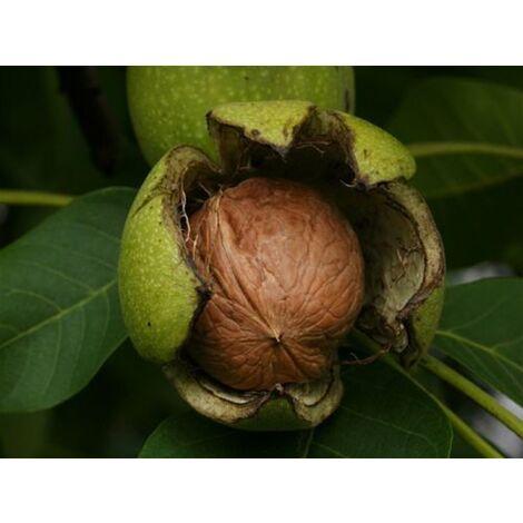 Pianta di Juglans Regia Noce Bianco da frutto in vaso ø15 cm h.35/50 cm