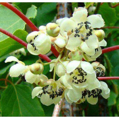 pianta di kiwi actinidia arguta cornel impollinatore FOTO REALI H 100CM