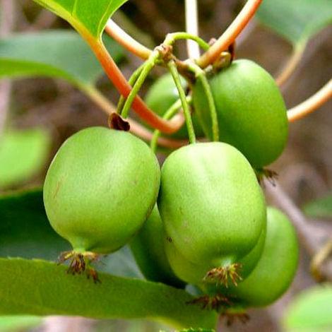 Pianta di Kiwi Arguta Issai (autofertile) mini kiwi
