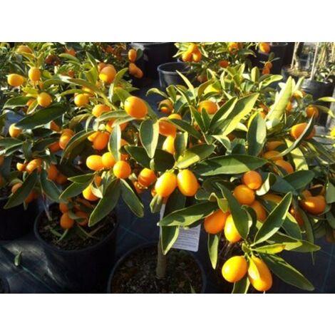 Pianta di Kumquat Mandarino cinese in vaso CON FRUTTI