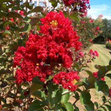 Pianta di Lagerstroemia Indica Durant Red in vaso ø18 cm h.60/80 cm