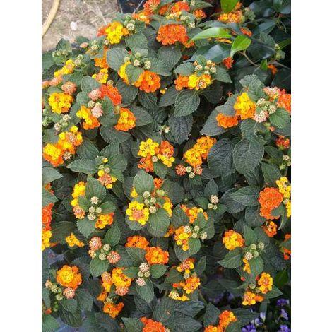 Pianta di lantana camara cespuglio arredo giardino vaso 7