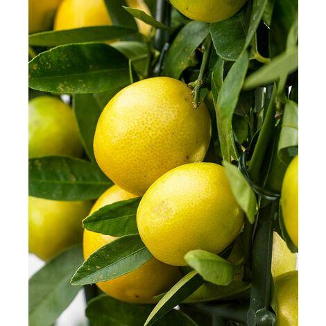 Pianta di Limequat in vaso 20