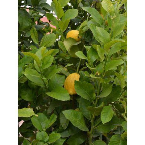 Pianta di limone 4 stagioni albero di agrumi alberi da frutta - 2 anni 130/150cm
