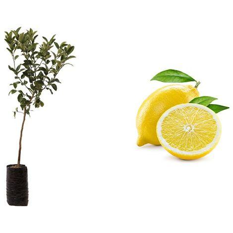 Pianta di Limone 4 Stagioni (Cistrus limon) in fitocella