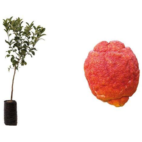 Pianta di Limone a Buccia Rossa (Citrus limonimedica pigmentata) in fitocella